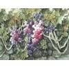寿光水彩葡萄,抢手的水彩葡萄供应商——紫玉轩