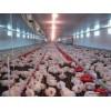 肉鸡自动化喂料机口碑好_特价肉鸡自动化喂料机供应商_青州富华农牧